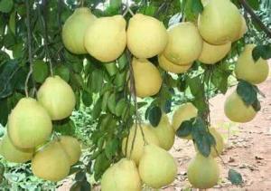 以柚子为主题的女生网名,女生关于柚子的小清新网名