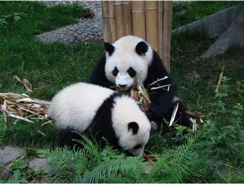 熊猫图片大全可爱 憨态百出